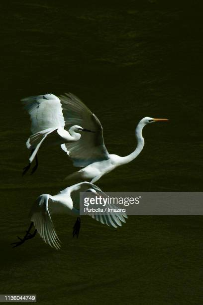 egret family, hapcheon, south korea - purbella stock photos and pictures