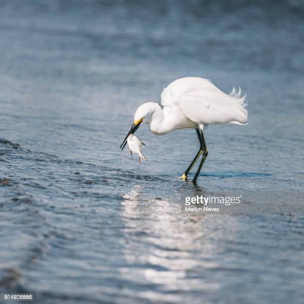 egret feeding on a small fish