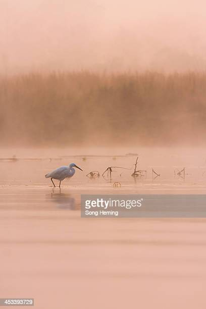 CONTENT] Egret fishing at sunrise in the Rapit river Chitwan National Park Nepal Asia2009