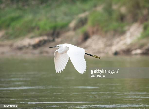 egret in flight - water bird stock pictures, royalty-free photos & images