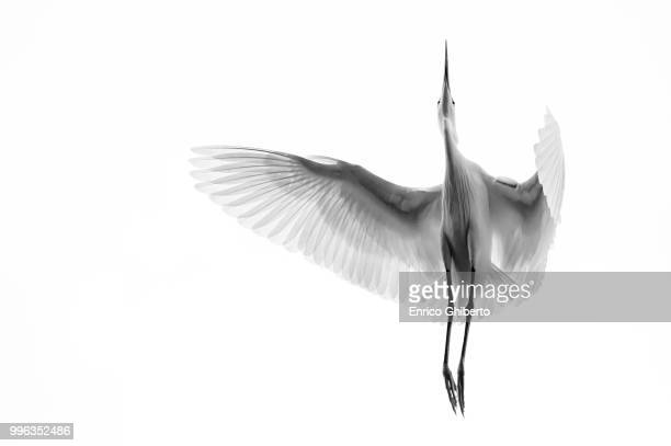 a egret in mid flight from below in vietnam. - water bird stock pictures, royalty-free photos & images