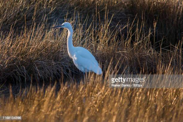 egret on the hunt in the marshes - lymington stock photos and pictures