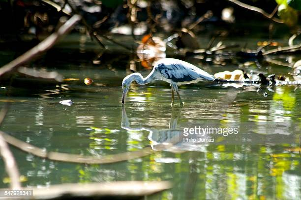 egret on the indian river - dominica stock pictures, royalty-free photos & images