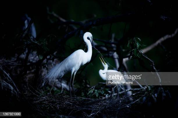 egret - rookery stock pictures, royalty-free photos & images