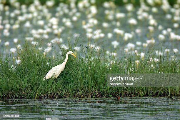 egret. - lahore canal stock photos and pictures