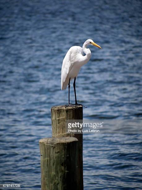 egret - stuart florida stock pictures, royalty-free photos & images