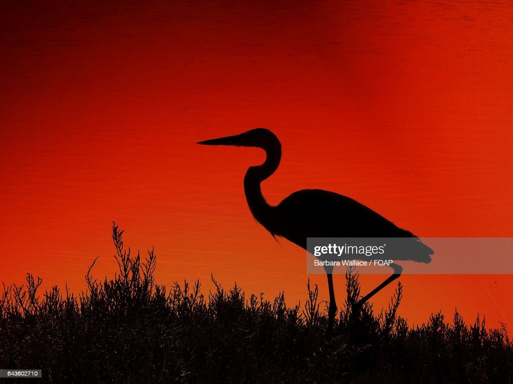 egret silhouette against red sky stock photo getty images