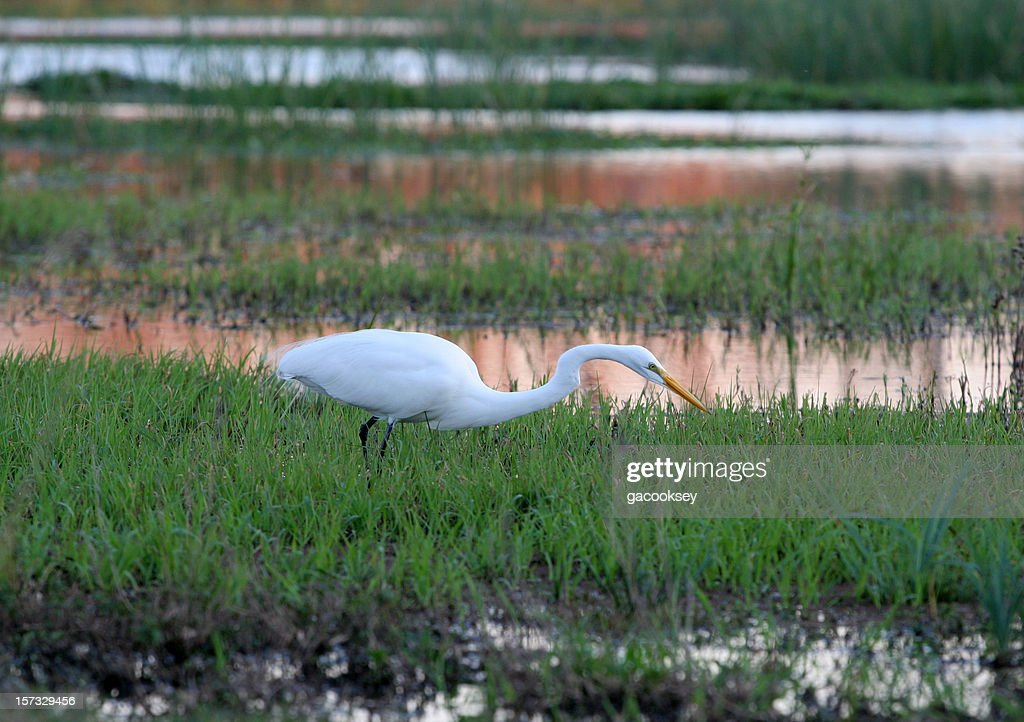 egret stalking at sunset : Stock Photo
