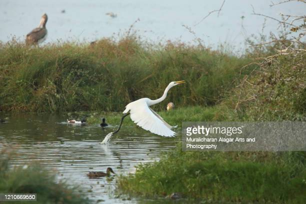 egret take off - marsh stock pictures, royalty-free photos & images