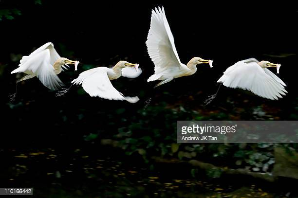egret with catch - jurong bird park stock pictures, royalty-free photos & images