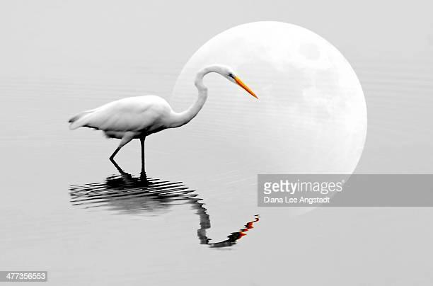 egret with moon reflections - rye new york stockfoto's en -beelden