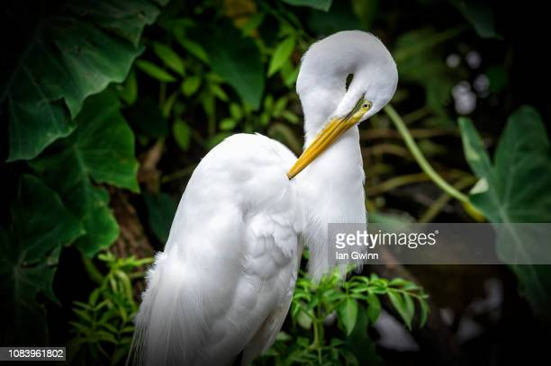 egret_1 - ian gwinn stock photos and pictures