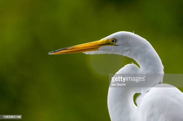 egret_2 - ian gwinn stock photos and pictures