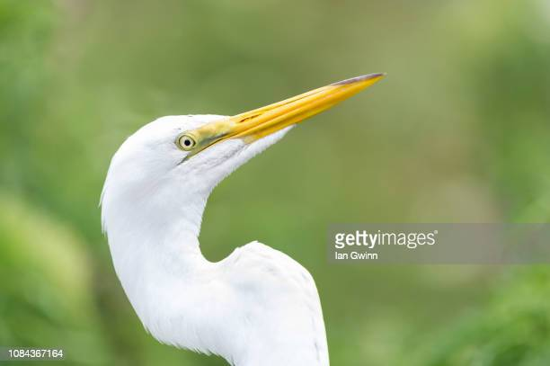 egret_3 - ian gwinn stock photos and pictures