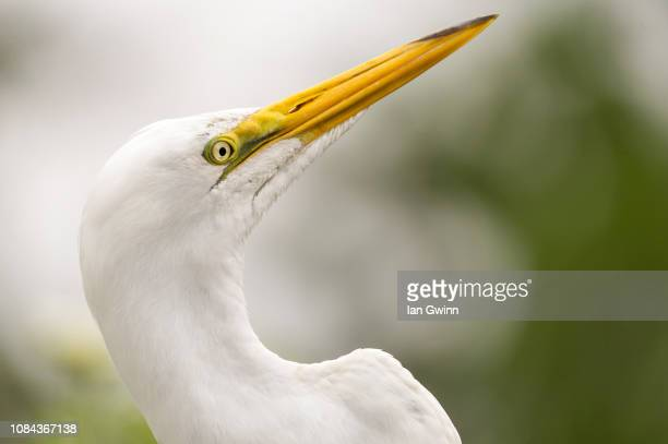 egret_4 - ian gwinn stock photos and pictures