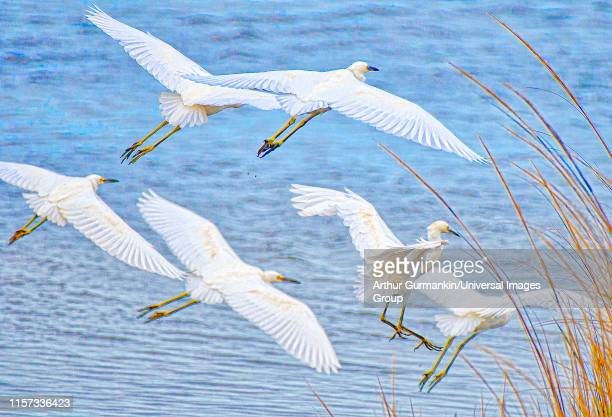 egrets in flight - arthur foto e immagini stock