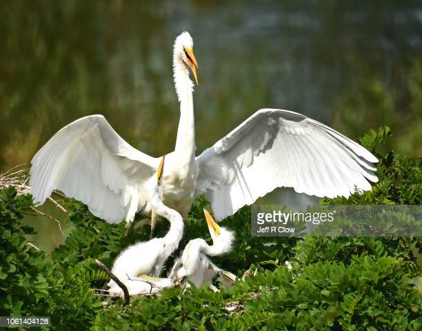 egrets in the nest - rookery stock pictures, royalty-free photos & images