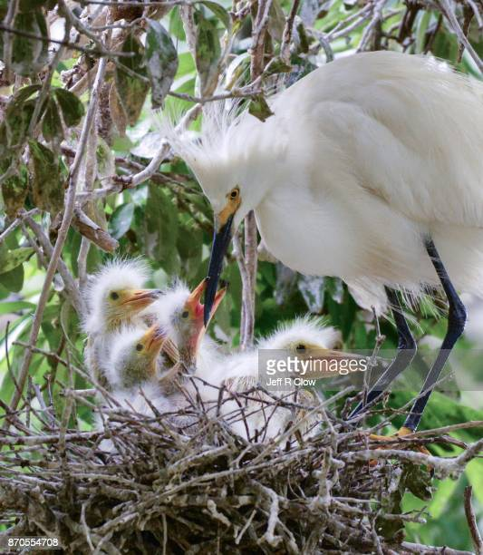 Egrets in the wild