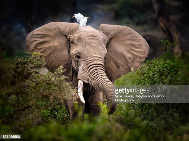 egrets on elephant head in amboseli, kenya - symbiotic relationship stock pictures, royalty-free photos & images