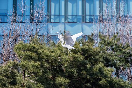 Egrets on Tree, Tancheon, Seongnam, South Korea - gettyimageskorea
