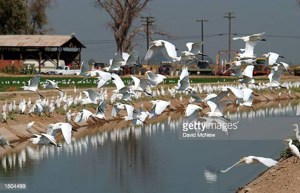 Egrets take flight over an irrigation canal that brings water from the Colorado River to California farms in Imperial Valley October 18, 2002 near El...