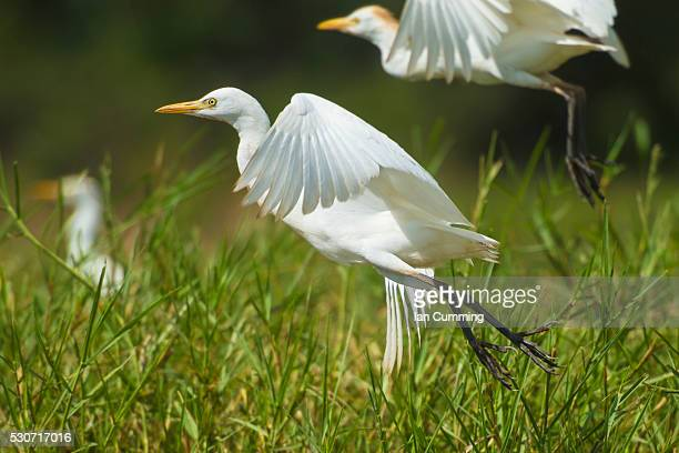 Egrets taking flight, Liwonde National Park; Malawi