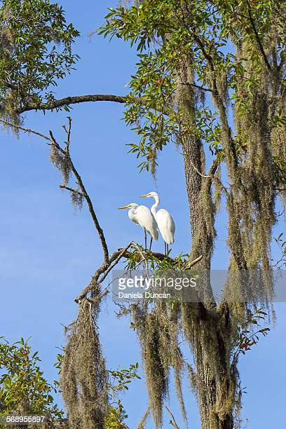 egrets together - bald cypress tree stock photos and pictures