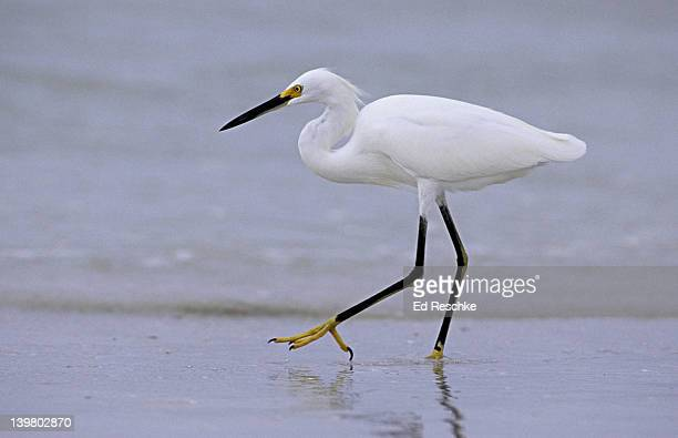 snowy egret. egretta thula.  snow white heron with bright yellow feet. was once hunted extensively for its plumes. now protected, and the range is expanding. siesta key, florida - siesta key stock photos and pictures
