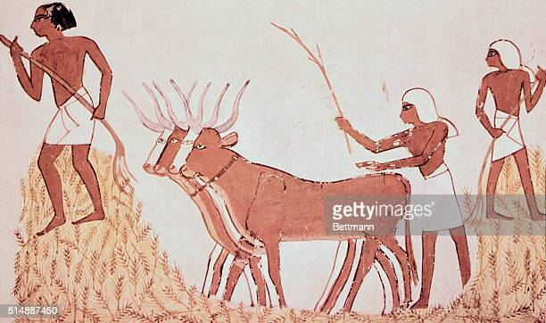 Agriculture Peasant threshing by letting oxen trample on ripe corn Wall Painting Middle Dome