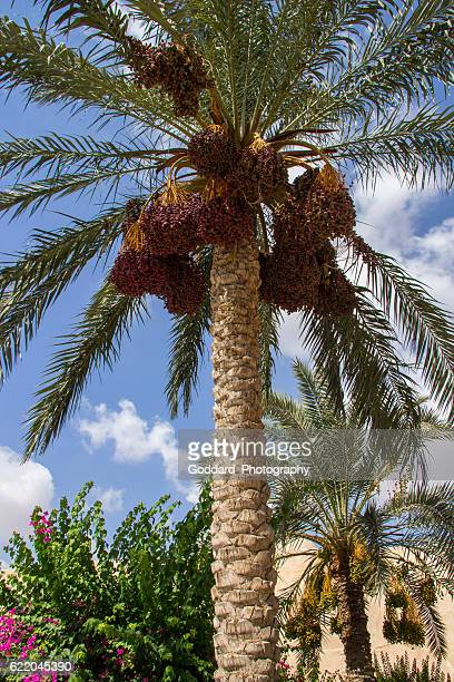 egypt: date palm in wadi el natrun - date palm tree stock pictures, royalty-free photos & images