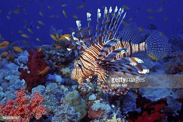 Red Lionfish in the Red Sea