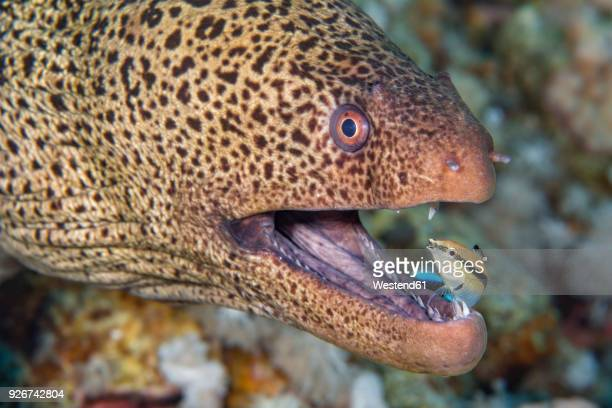 egypt, red sea, hurghada, giant moray with common cleaner wrasse - fish scale pattern ストックフォトと画像