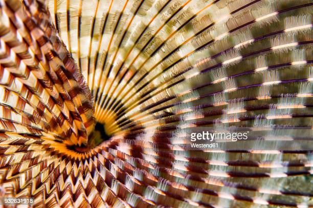 egypt, red sea, hurghada, indian tubeworm - red sea stock pictures, royalty-free photos & images