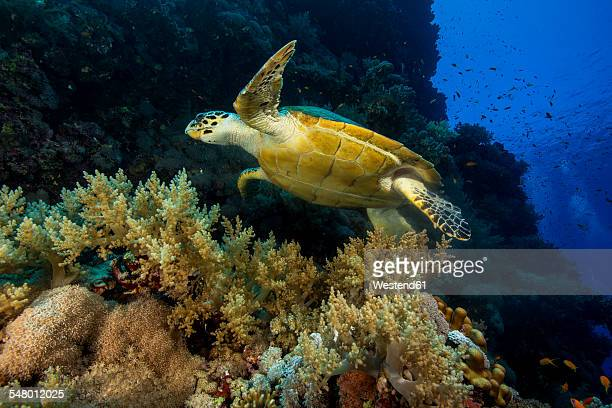 egypt, red sea, swimming hawksbill seaturtle, eretmochelys imbricata - hawksbill turtle stock pictures, royalty-free photos & images