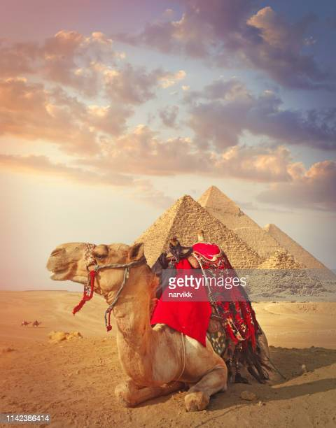 egyptian camel and the pyramids in giza - international landmark stock pictures, royalty-free photos & images