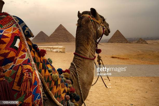 egyptian camel desert waiting tourist near the great pyramid of giza  egypt - egypt stock pictures, royalty-free photos & images