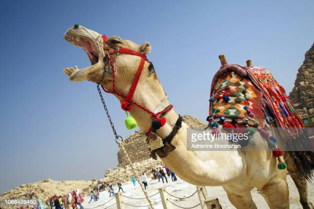egyptian camel with mouth open - dry mouth stock photos and pictures