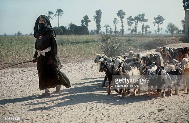 Egyptian civilians and their livestock flee combat zones in the Sinai in the Suez Canal area, on November 10 during the Yom Kippur War. On October 06...