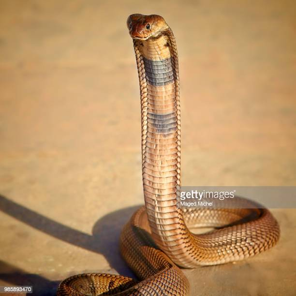 Egyptian Cobra Stock Photos And Pictures Getty Images