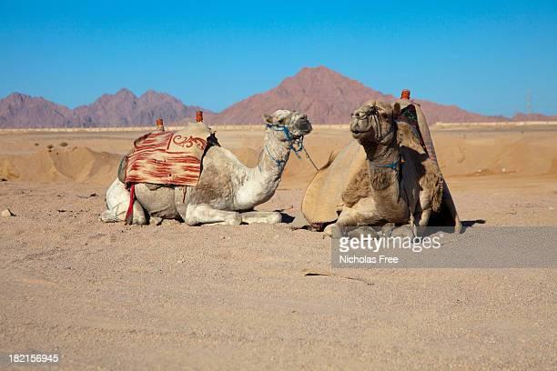 エジプト砂漠のラクダ - シャルムエルシェイク ストックフォトと画像