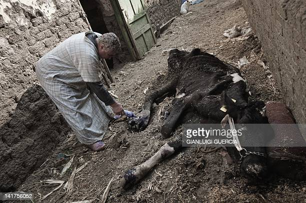 Egyptian farmer Sami Said Abd al-Galil treats one of his cows affected by the foot-and-mouth disease, at a farm in Ezbet al-Galayla on the outskirts...