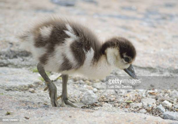 Egyptian geese baby cuddle