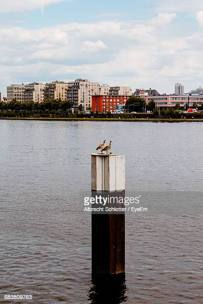 egyptian geese perching on metal pole in lake against city - albrecht schlotter stock-fotos und bilder