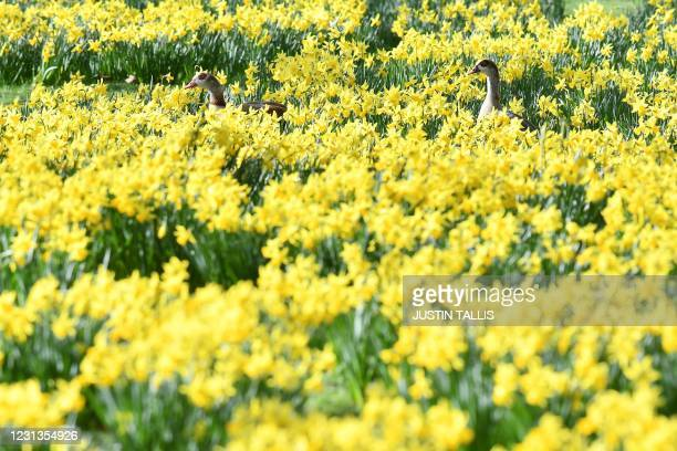 Egyptian Geese walk in a flower bed full of spring daffodils in St James's Park in central London on February 24, 2021