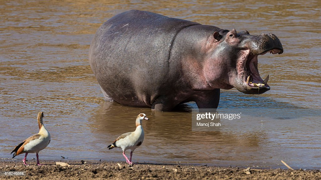 Egyptian Geese walking past a hippo : Foto de stock