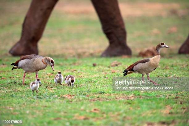egyptian goose, (alopochen aegyptiacus), adults with youngs foraging, alert, addo elephant nationalpark, eastern cape, south africa, africa - nationalpark stock pictures, royalty-free photos & images