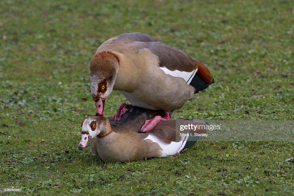 Egyptian Goose - Alopochen eagyptiaca : Stock Photo