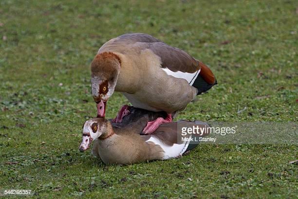egyptian goose - alopochen eagyptiaca - english stock photos and pictures