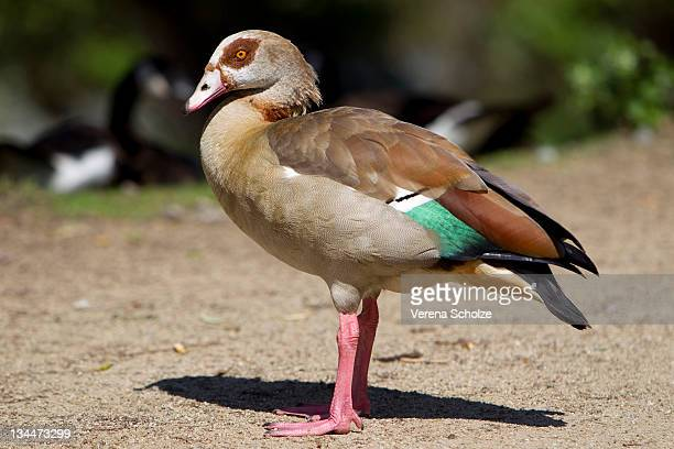 egyptian goose (alopochen aegyptiacus) - vista lateral stock pictures, royalty-free photos & images