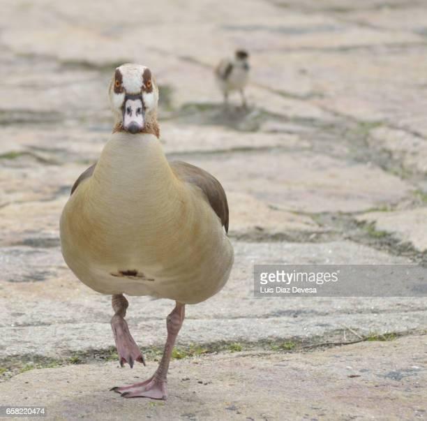 egyptian goose (alopochen aegyptiacus) - foco no primeiro plano stock pictures, royalty-free photos & images